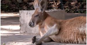 Kangaroo chết trong vườn thú sau khi bị du khách ném gạch
