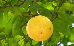 Kỳ lạ giống vú sữa trái chín vàng bóng, ra quả quanh năm