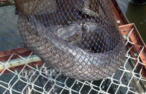 Bắt cá trê 'khủng' ở miền Tây bằng bẫy tự chế cực độc đáo