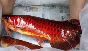 Khám phá bí ẩn cá huyết rồng vẩy đỏ như máu ở Biển Hồ