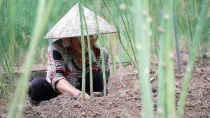 Thu nhập tiền triệu mỗi ngày nhờ trồng măng tây công nghệ cao
