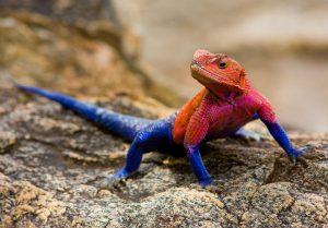 Kỳ lạ chú thằn lằn có màu sắc như siêu anh hùng 'người nhện'