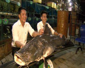 Bắt được cá lăng trên sông Tiền nặng trên 100kg, cực hiếm