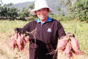Thu hàng trăm triệu đồng từ trồng khoai lang đỏ