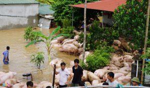 """Người dân vật lộn cứu đàn lợn hơn 1.000 con """"chạy"""" lũ"""