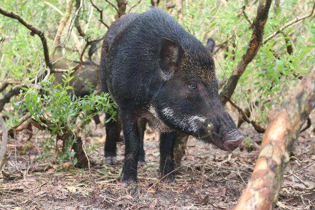 Lạ: Mua lợn rừng về thịt làm cỗ, thì biết nó có bầu đành để lại nuôi