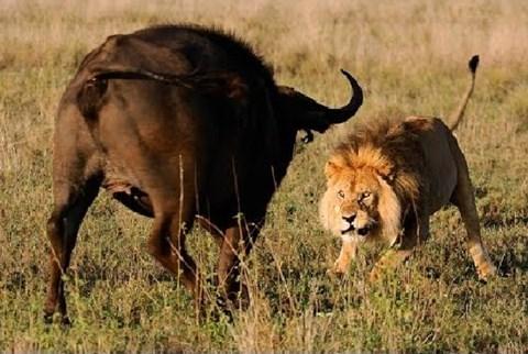 Thế giới động vật: Sư tử bạo gan tấn công cả đàn trâu rừng