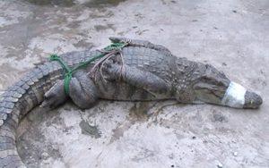 Đồng Tháp: Người dân bắt được hai con cá sấu trong bụi rậm