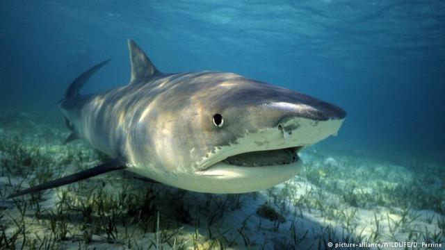 """Giết đàn cá mập hổ để """"trả thù"""" vụ tấn công du khách"""