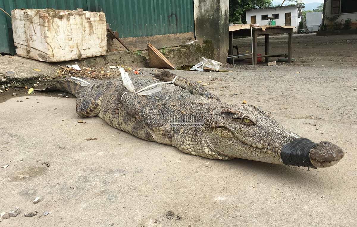 """Nghệ An: Cảnh giết cá sấu ở vùng quê """"vốc nắm đất cũng gặp đá quý"""""""