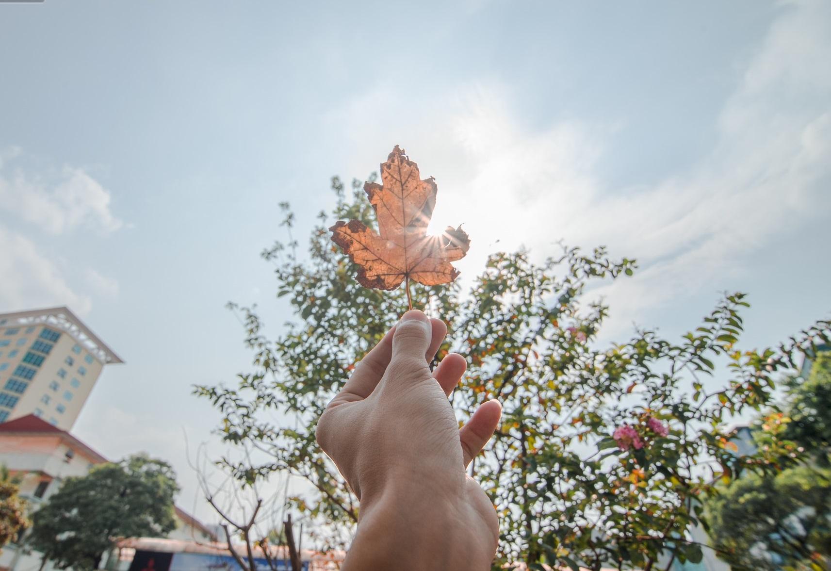 Cận cảnh hàng cây phong lá đỏ trên phố Hà Nội