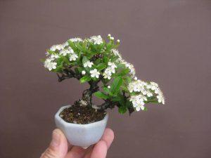 Ngắm những cây bonsai để phòng đẹp ngất ngây