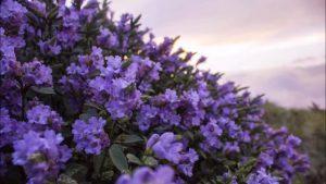 Bí mật loài hoa 12 năm mới nở một lần ở Ấn Độ