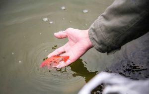 Đưa 'Ông Táo lên trời' vì sao phải thả cá chép?