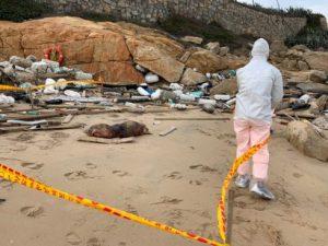 Dịch sốt heo châu Phi ở Trung Quốc 'trôi dạt' sang Đài Loan