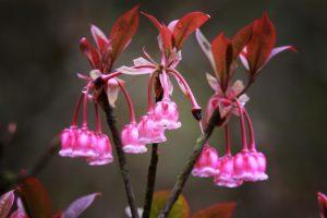 Ngỡ ngàng vẻ đẹp quyến rũ của hoa đào chuông trên đỉnh Bà Nà