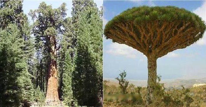Những cây cổ thụ sống lâu đời nhất trên thế giới, Thụy Điển có cây lên đến 9500 năm