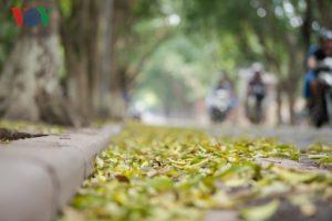 Ảnh: Hà Nội đẹp nao lòng mùa lá rụng tháng 4