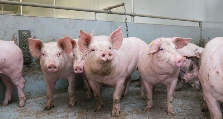 3 địa phương công bố hết dịch tả lợn châu Phi