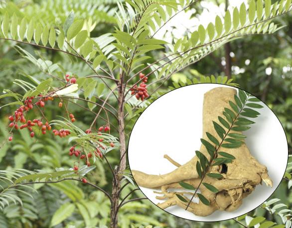 Sự thực 'choáng' về cây mật nhân quý hiếm mọc nhiều ở VN