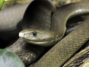 Loài rắn nguy hiểm nhất hành tinh, mệnh danh 'cỗ quan tài đen'