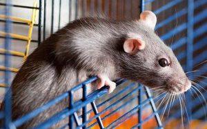 Con chuột nhịn 3 ngày để chui vào bình thức ăn: Cái kết đủ đau để thức tỉnh con người!