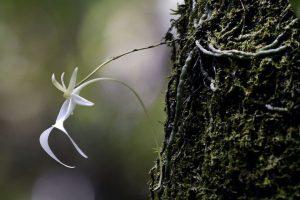 'Phong lan ma' – loài hoa hiếm bậc nhất thế giới, Darwin cũng không lý giải được