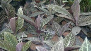 Khám phá 'độc' về cây lá khôi chữa dạ dày ở VN