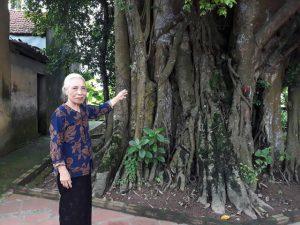 Khách thập phương đổ về chiêm ngưỡng cây đa – gạo kỳ lạ ở Vĩnh Phúc
