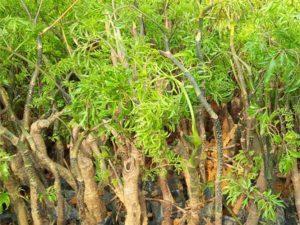 Tác dụng của cây đinh lăng – nhân sâm trong y học cổ truyền