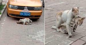 Chú mèo cố gắng kéo bạn đã chết đến nơi bình yên