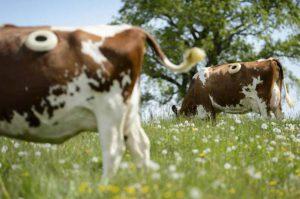 Kỳ lạ trang trại đục lỗ trên thân hàng trăm con bò