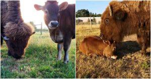 Tình bạn đẹp giữa bê con và chú bò mù