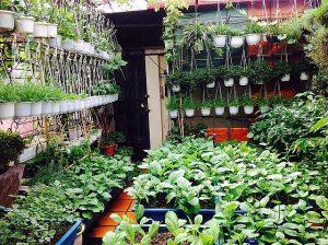 Đã mắt với những vườn rau trong phố 'ăn cả năm không hết'