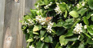 Hoa bưởi – món quà quê nhiều lợi ích sức khoẻ