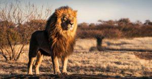 Con trai nhỏ và sư tử già