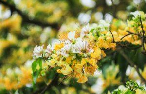 Hoa bún rực rỡ cuối xuân