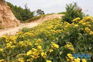 Rực rỡ mùa hoa vàng trên non cao