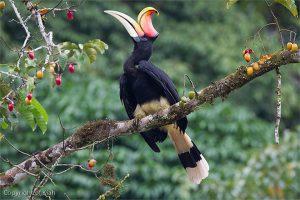 Phượng hoàng đất – loài chim 'đẹp như mơ' bay lạc vào vườn của chàng trai trẻ