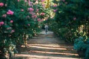 Lặng ngắm con đường hoa tường vi, đẹp như mơ giữa lòng Hà Nội