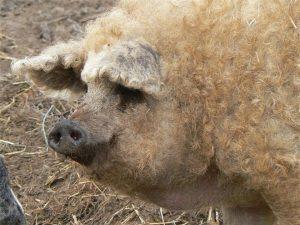 Kỳ lạ giống lợn siêu hiếm trên thế giới, lông xoăn như súp lơ