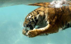 Những bí mật chưa từng biết về loài Hổ