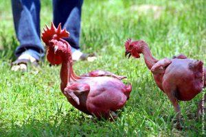 Những giống gà lạ bà đẹp nhất thế giới