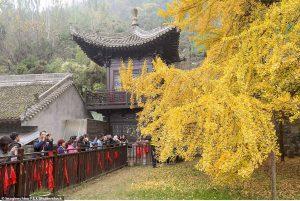 Cây rẻ quạt nghìn tuổi ở Trung Quốc