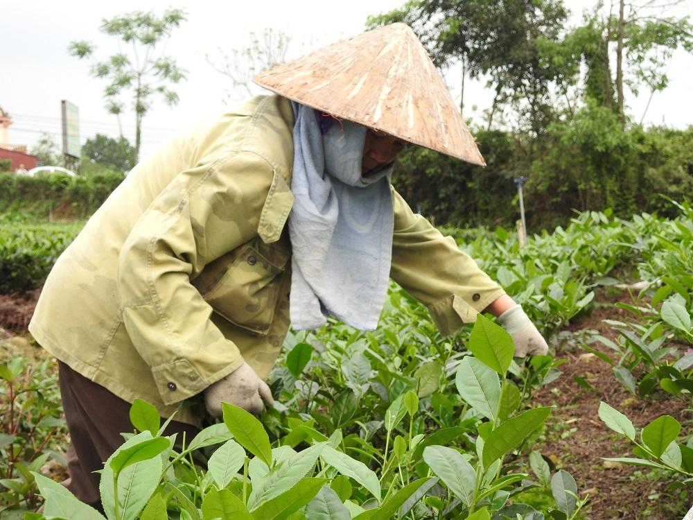 Chè Tân Cương – Đệ nhất danh trà Việt