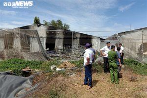 Nguyên nhân gần 140 con lợn bị chôn giữa rừng cao su ở Đồng Nai