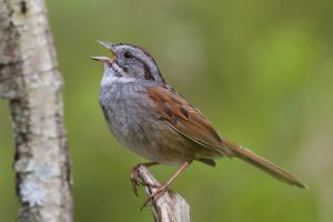 Loài chim đã hót một giai điệu không thay đổi suốt 1000 năm