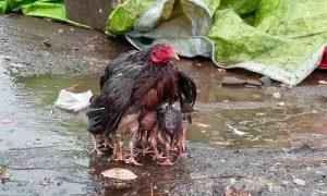 Gà mẹ xòe cánh che chở đàn con dưới trời mưa