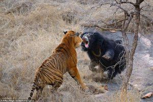 """Gấu mẹ hóa """"Võ Tòng đánh hổ"""" để bảo vệ đàn con"""