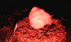 Chuột đi theo đàn ăn sống hai triệu chim non trên đảo thuộc Anh